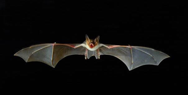 I più piccoli mammiferi al mondo sono pipistrelli di 3cm!